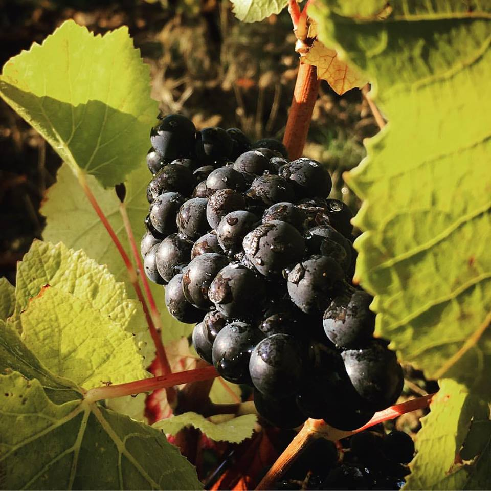 Pinot noir waits for the harvest...