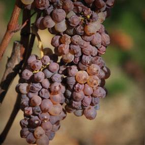 What is Botrytis Cinerea?