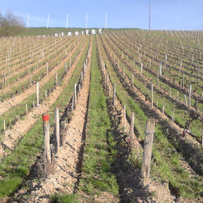 Hilling up the vines in La Perrière vineyards