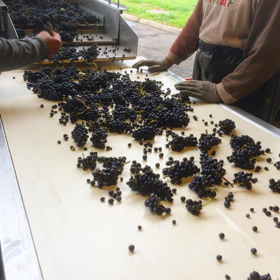 Sorting the last of the Pinot noir grapes in Sancerre