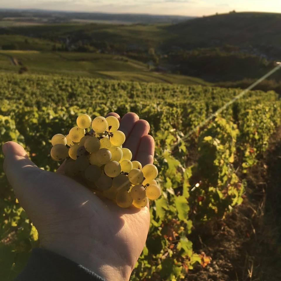 The 2016 grape harvest