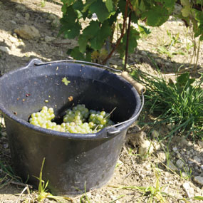 "The manual harvests on our single plot of ""Bellechaume"", Domaine de Terres Blanches, is coming to an end."